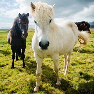 animals horses iceland portait scandinavia scandinavian travel whitehorse wild