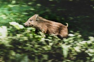 KissBPhotography natgeo nature naturephotography piglet piglets wildboar wildboars wildlife wildlifeonearth wildlifephotography wildpig wildpiglets