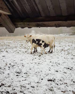 animals beautiful cold cow donoteatanimals loveanimals nature naturephoto naturephotographer snow sweden vegetarian winter winterland