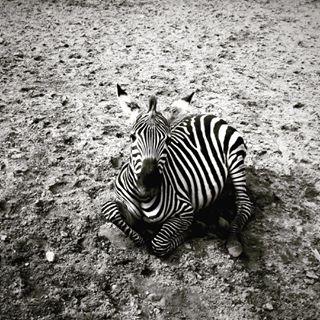 animal blackandwhite budapest bw cute iphonephotography lookingup shotoniphone zebra zoo
