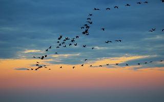 birds daru hortobágy nature photography sunset szállnakadarvakjajjhova wildlife