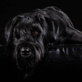animalphotography blackdog blackisbeautiful dogphotography riesenschnauzer stauaufderautobahn studiophotography tierfotoköln