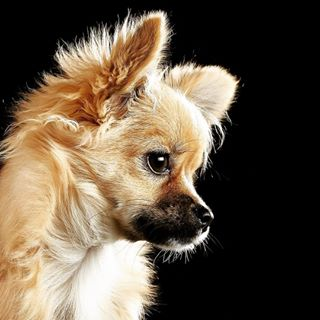 animalphotography chihuahuas dogsofinstagram er hundefotografie kleinaberoho niedlich tierfotoköln