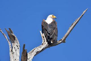africa birdsofprey eagle nationalgeographic nikon safari sigma tanzania wildlife wildlifephotography