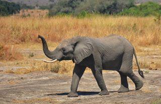 africa africanphotography bigfive elephant nationalgeographic nikon safari sigma southernafrica tanzania wildlife wildlifephotography