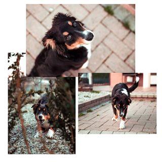 animallovers animalphotographer animalphotography australianshepherd australianshepherdworld doglife doglover dogstagram febviz petphotography pets petsofinstagram