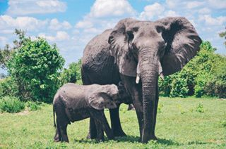 africa animals botswana chobe chobepark elephant globalyodel lightroom natgeo photography safari vsco vscocam