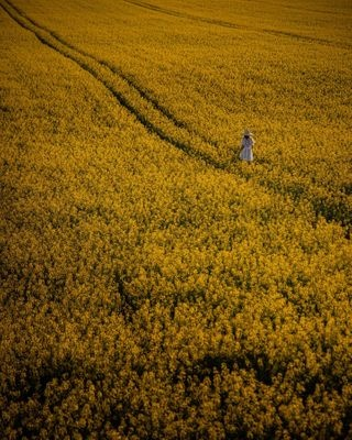 blossom canola canolafields explore field flower photography photooftheday presets sexy shooting spring travel
