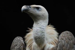 accipitridae bird blackbackground closeup griffin nikon nikond200 photography rapacious realgriffin reallifegriffins tamron150600g2