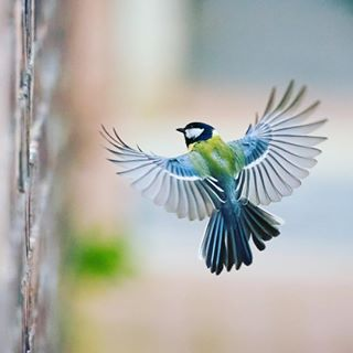 birds budapest nature park parusmajor smallbirds sony100400gm sonya9 visitbudapest wildlife wildlifephotography