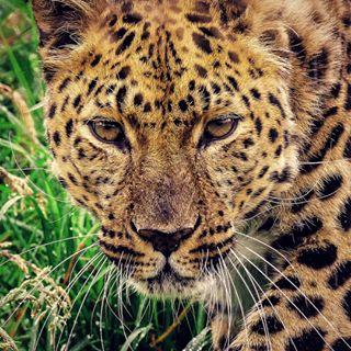 bigcatseyes bigcatsofinstagram endangeredanimal kojicam leicacamera leicavluxtyp114 leopards naturalworldeco predators tupaclyrics