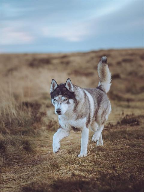 portraitwolf photo: 0