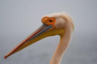 africa animal bird namibia nikon nikond7500 nikonitalia pellicano photography picoftheday walwisbay