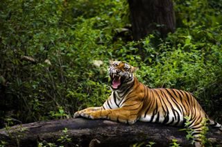 bbcearth cj_photography d7000 indianwildlife junglebook karnataka nature nikon nikond7000 nikontop nkpofficials tiger wildindia wildlife wildlifeaddicts wildlife_india wildlifephotography